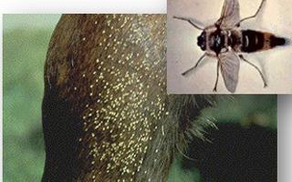 Oxiuros graham, Parasito oxiuros en caballos - Parasito oxiuros en caballos